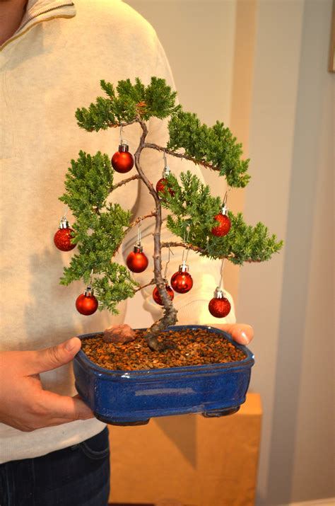 how do you bonsai christmas tree a visit with a 389 year bonsai tree after orange county