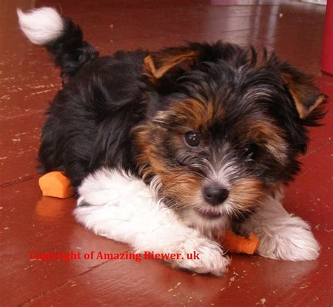tri color yorkie terrier tri colour stud oscar breeds picture