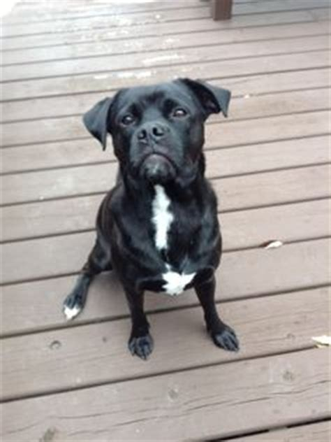 black lab and pug mix max the pug lab mix awwww the o jays
