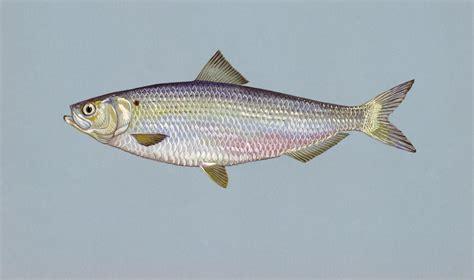 Images Of Herring Fish blueback herring wikiwand