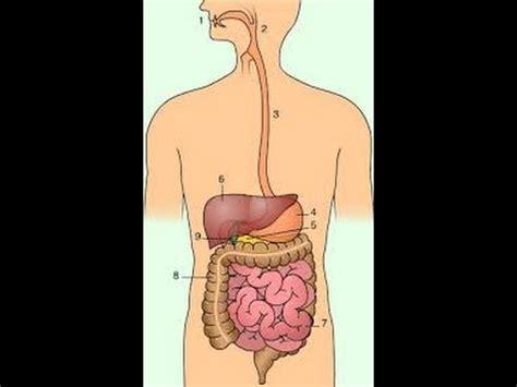 como hacer una maqueta del aparato digestivo de un gusano de tierra aparato digestivo maqueta f 193 cil youtube