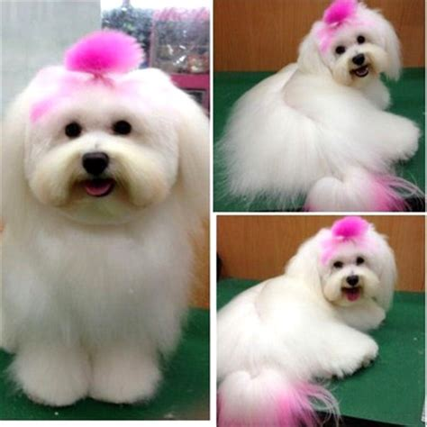 pomeranian hair dye 25 best ideas about hair dye on pink poodle kool aid hair and safe