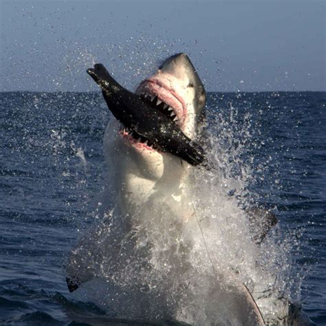 great white shark attack cape cod great white sharks return to cape cod ma attacked