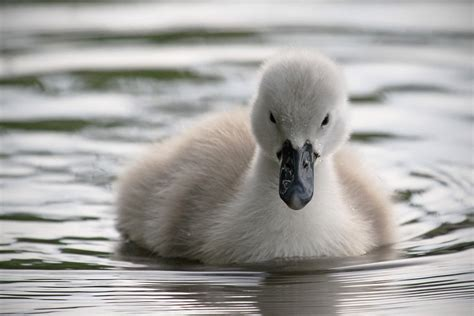 evening cygnet by snowporing on deviantart