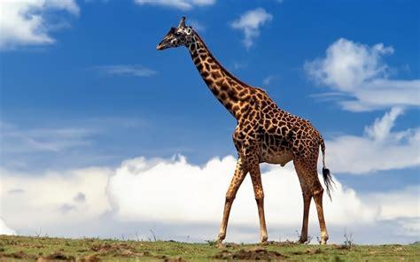 imágenes de jirafas bonitas cuerpo de una jirafa 1680x1050 fondos de pantalla y