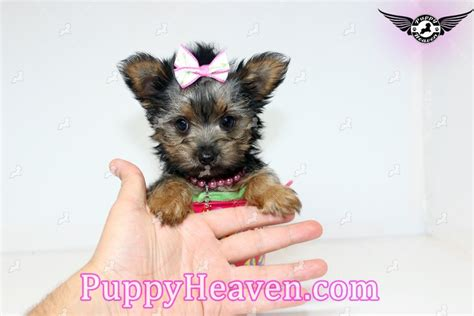 teacup puppies for sale in san diego shorkie puppies sale san diego image breeds picture