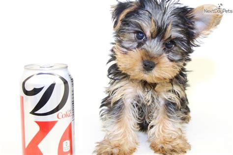 teacup yorkies for sale in ohio 200 terrier yorkie puppy for sale near columbus ohio 15e2b87c da71