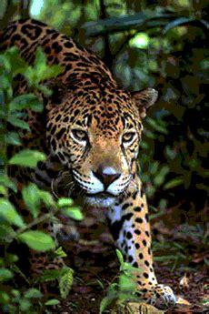 imagenes de jaguares mayas tierra firme conciencia cambios en la tierra profecia