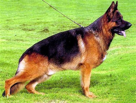 allevamento casa nobili hombre vertical i cani della leggenda