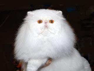 allevamento gatti persiani roma gattipersiani it gatti persiani