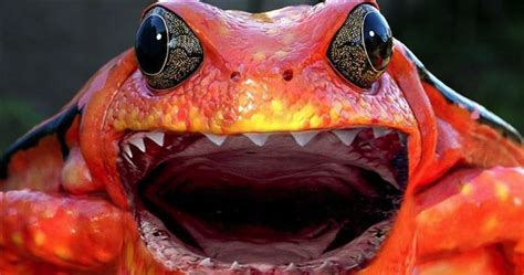 frog   discovered   highly venomous