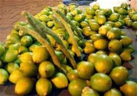 Produk Ukm Kue Akar Pinang manfaat khasiat buah gambir untuk kesehatan tubuh