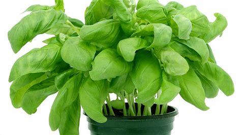 piante aromatiche in giardino piante aromatiche e piante medicinali per orto balcone