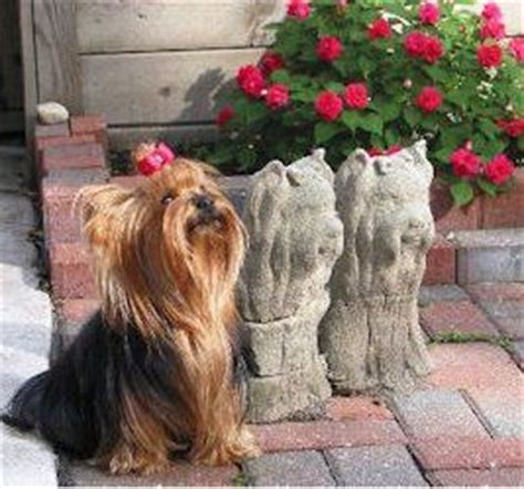 concrete yorkie statue 17 best images about yorkie statues on yorkie pets and concrete statues