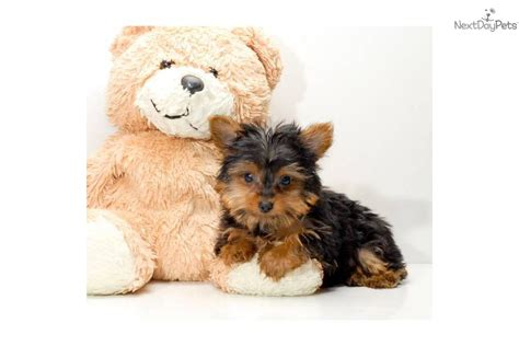 all about yorkie puppies all about terrier puppies teacup yorkie dogs breeds picture