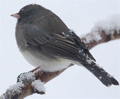 dark eyed junco birds of new england com