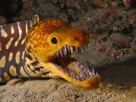 moray eel what to do if you re attacked by an electric eel thyme