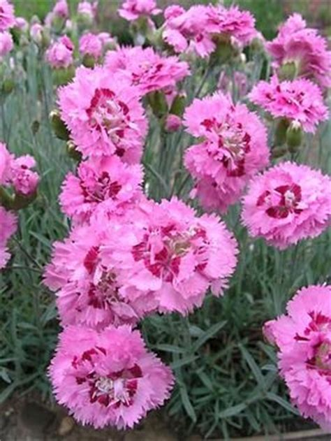 Crop Flower Pink 22 best images about dianthus perennial pinks on the sweet sun and the sun