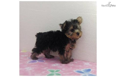 black yorkie puppy black and gold terrier puppies
