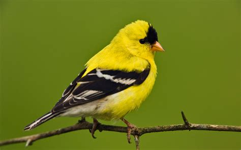 american goldfinch wallpapers hd wallpapers