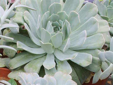 echeveria runyonii world of succulents