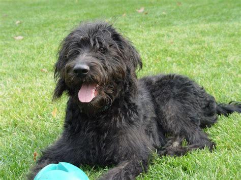 doodlebug wetherby black f1 labradoodle dogs 119 best images about