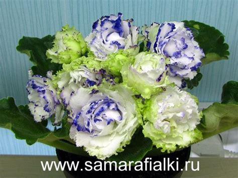 Bunga Artfcl Mini Violet 17 best images about violets on miniature violets and saintpaulia