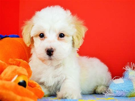 tri colored havanese puppies royal flush havanese puppies for sale tri colored 1 ready now