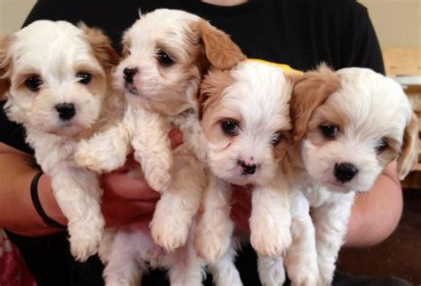 spaniel puppies for adoption pets