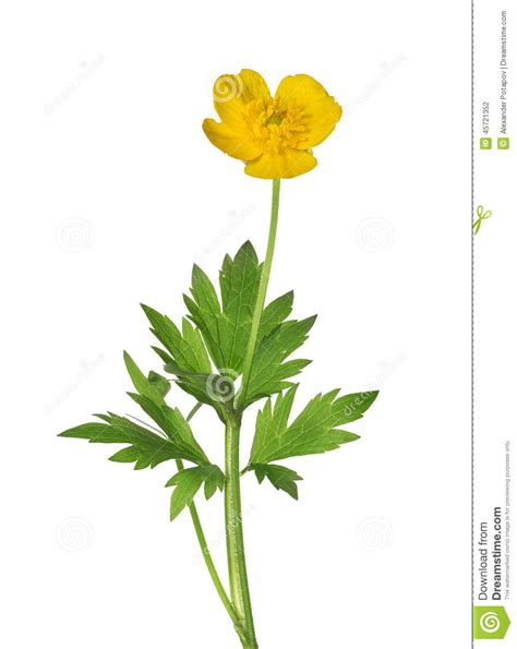 wild yellow buttercup flower with green leaves stock photo