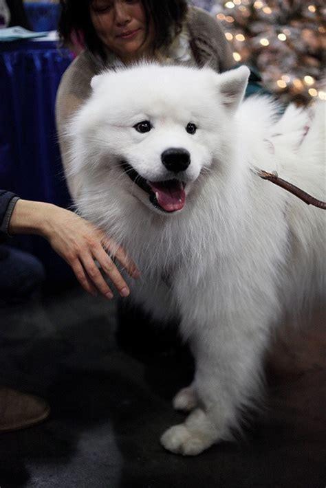 samoyed puppies ohio 298 best images about samoyeds on adoption samoyed dogs and for sale