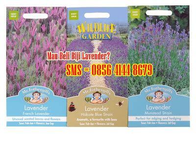 Jual Bibit Oregano Basil jual tanaman lavender di jakarta tanamanbaru