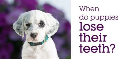 when do puppies lose their teeth puppy teeth diagram www pixshark images galleries with a bite