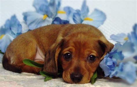 dachshund puppies alabama miniature dachshund puppies