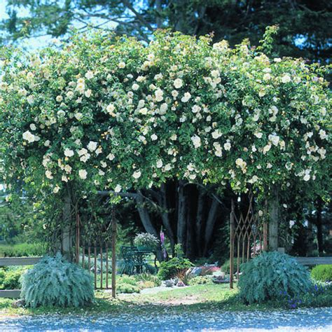 climbing roses growing tips sunset