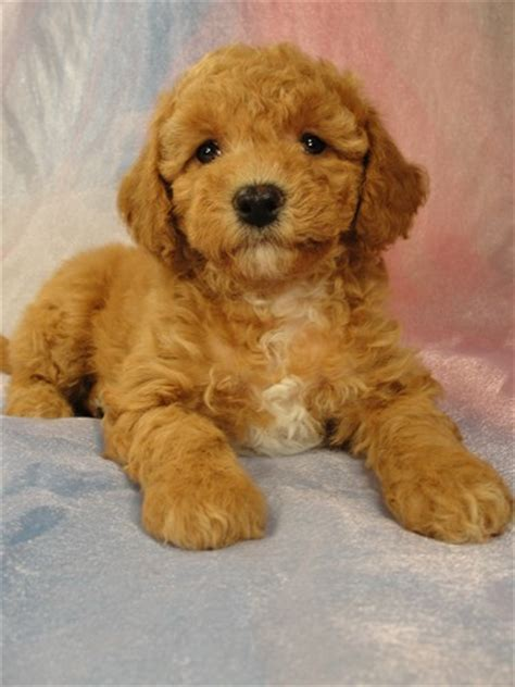 puppies for sale iowa cavachon poodle mix breeds picture