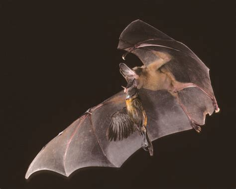 costa rica hosts largest ever bat conference the tico
