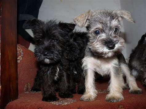 puppies looking for homes mini schnauzer puppies looking for a loving home thornton cleveleys lancashire