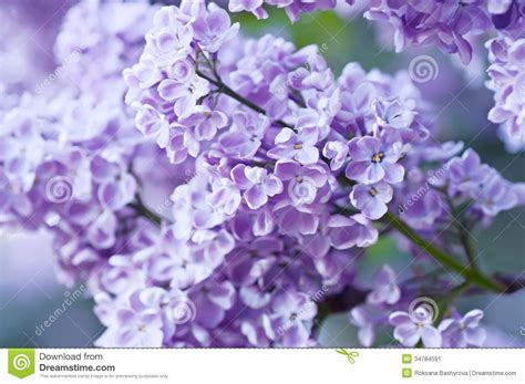 lilac flower meaning branch of lilac flowers stock image image 34784591