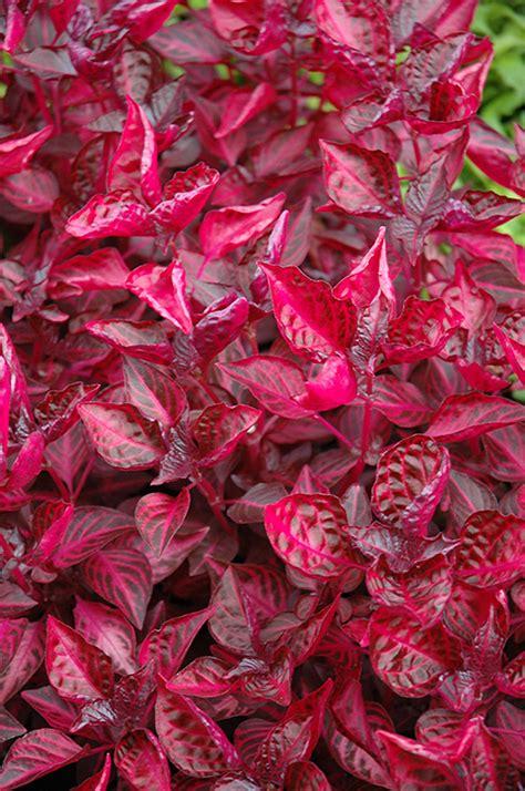 blood leaf iresine herbstii in wilmette chicago evanston glenview skokie winnetka illinois il
