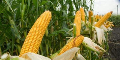 Harga Jagung Pakan Ternak 2018 kebijakan pembatasan impor jagung beritasaham24