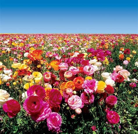 google images flower ranunculusflowers theflowerfields