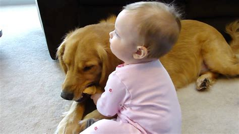 golden retriever and babies 2 year 85 lb golden retriever vs 10 month baby