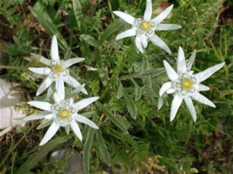 stelle alpine in vaso stella alpina coltivazione in giardino o in vaso piante