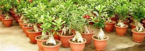 nurserylive wholesale plant nursery   nursery