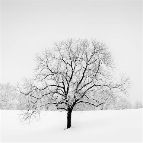 Quot Veiled In White Quot Snow Covered Oak Tree Story