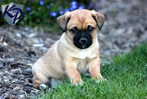 Kimmy jug puppies for sale in pa keystone puppies dog breeds picture