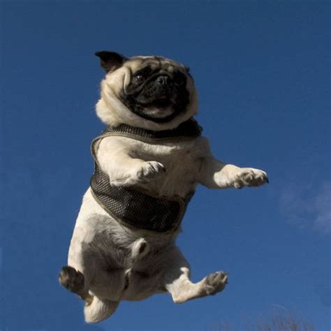 flying pugs 335 best images about pugs on pug meme and pug