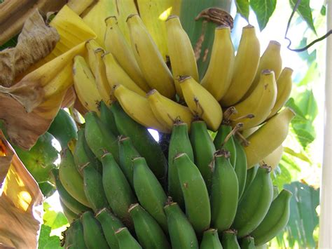 bananas on tree its all about the philippines top 20 popular fruits in