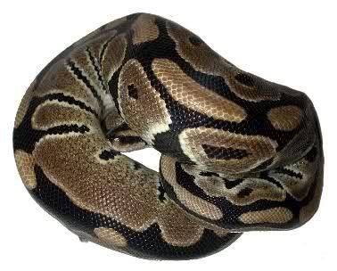 alimentazione pitone reale pitone reale python regius